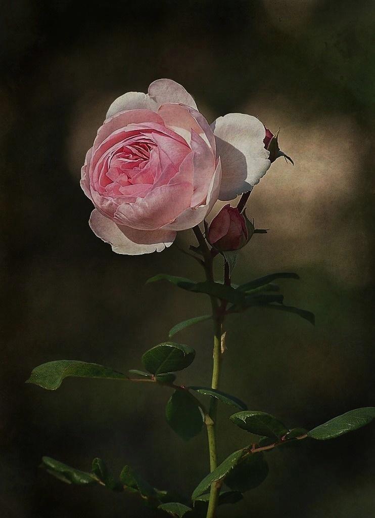 My last Geof Hamilton rose photo by mamietherese1