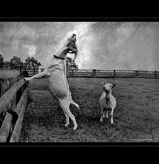 Goat Yoga photo by h.koppdelaney