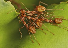 IMG_7375 weaver ant nest making crew photo by Troup1