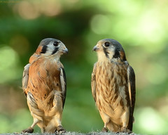 Kestrels photo by votaaj