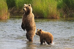 Cub with Mother Brown Bear photo by toryjk