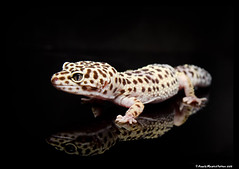 Leopard Gecko photo by Royally Morphed Pythons