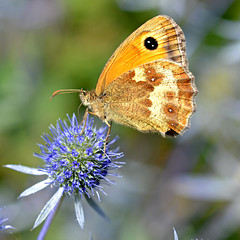 Gatekeeper Butterfly on Eryngium (Sea Holly) photo by Eleanor (No multiple invites please)