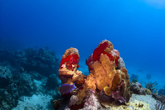 Coral near St. Barts photo by b.campbell65