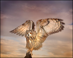 The Eagle Owl Has landed photo by Mike_Sherman
