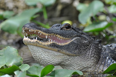 Florida Gator photo by kconnelly03