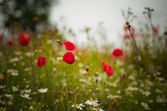 Poppies and daisies photo by Paisley patches