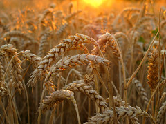 Wheat in golden Evening Light photo by Batikart