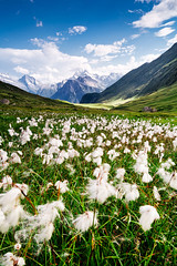 Switerland - Belalp: Cotton Fields photo by Nomadic Vision Photography