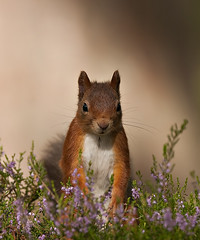 Red Squirrel looking pretty in the Heather (Explored) photo by Margaret J Walker
