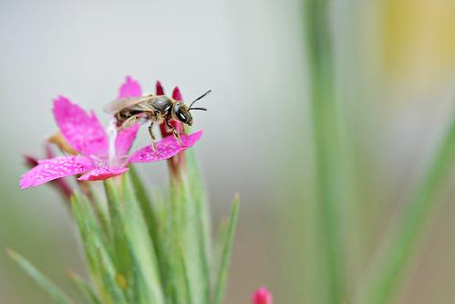 Bee / Abeille