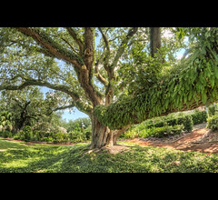 Big Tree with Plants on it! ( New Orleans) photo by Daniel Horande Photography