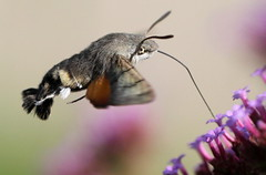 """Macroglossum stellatarum"" - kolibrievlinder , explored! ( #238 ) photo by bugman11"