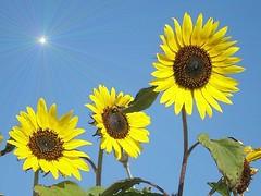 Giallo - Yellow photo by collage42 Pia M.-Vittoria S./