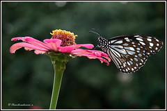1591 blue tiger butterfly photo by chandrasekaran a 28lakhs views Thanks to all