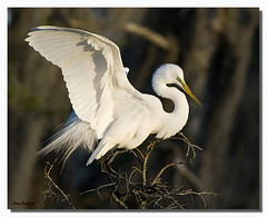 A great egret at Lafitte Nature Park... photo by Larry Daugherty - very slow for several days! :-)