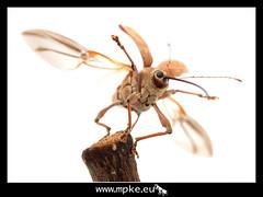 Flying weevil (Curculio glandium) photo by mpke