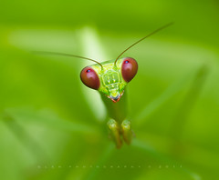 Mantodea [ Praying Mantis ] photo by Glen Espinosa Photography