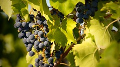 Grapes at Bully Hill Vineyards