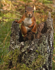 Red Squirrel chilled out photo by Margaret J Walker