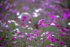 Cosmos photo by Baba Sakae