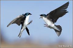 Tree Swallow (20110423-3216) - Explore photo by Earl Reinink