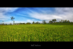 Bali Rice Field Panorama photo by Christopher Chan