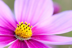 Osteospermum photo by Marc Lagneau