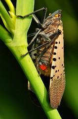 Lanternfly (Lycorma delicatula, Aphaeninae, Fulgoridae) photo by John Horstman (itchydogimages, SINOBUG)