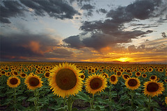 Sunflower Field - Hudson, Colorado photo by Will Shieh
