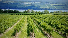 Typical vineyard of Finger Lakes