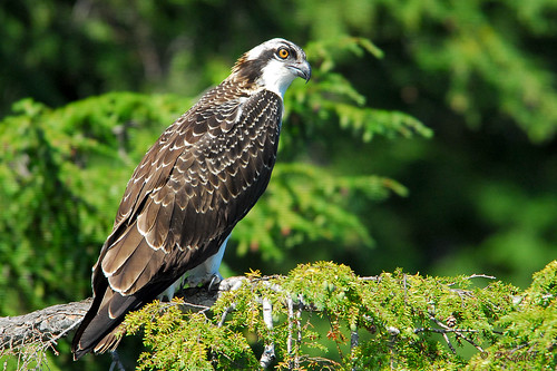 Newboro Lake Osprey photo by pkefali (Back, catch up soon)