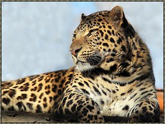 LEOPARD photo by dialor51/Allenaid