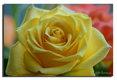 ROMANTIC ROSE ( Explore # 72 ) photo by vicki127.