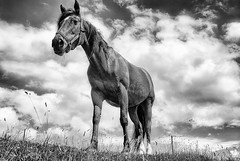 Beautiful horse in a pasture Ireland's Dingle Peninsula, black and white photo by jackie weisberg