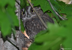 Western Screech-Owl (Megascops kennicottii) ~ Explored photo by Photography Through Tania's Eyes