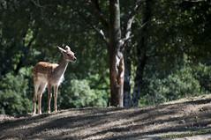 Cerbiatto @ Safari Park di Pombia (NO) photo by Stefano Guastalegname