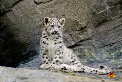 snow leopard photo by wwmike
