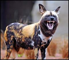 Painted Dog showing teeth photo by Steve Wilson - over 4 million views Thanks !!