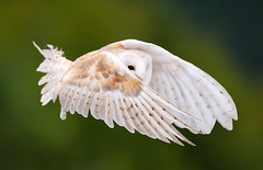 Barn Owl  -  Birds of Prey Show (Mont Tremblant, Quebec) photo by VLADIMIR NAUMOFF