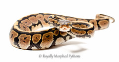 Spot nose royal python photo by Royally Morphed Pythons