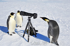 Penguin Paparazzi photo by westlightimages