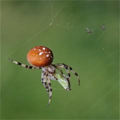 photo boillon christophe /macro macro araignée & nature / le dîner d'une araignée dans la pénombre d'un sous-bois un soir de septembre photo by BOILLON CHRISTOPHE
