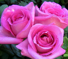 3 roses photo by *Kevin45*