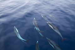 Pod of dolphins - Pacific Ocean - Mexico photo by Michael Bartosek