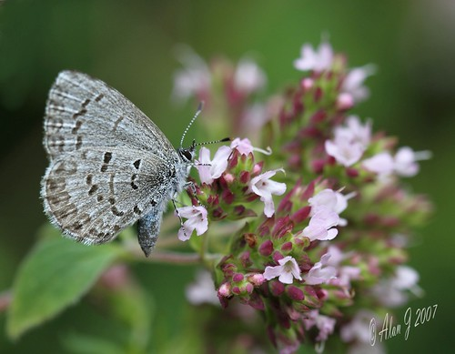 Spring Azure (Celastrina Ladon) photo by alanj2007