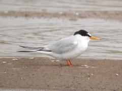 Little Tern, Castro Marim (Portugal), 26-Apr-06