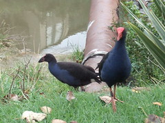 pukeko mother and young one