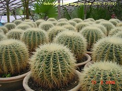ch - cv cactus01