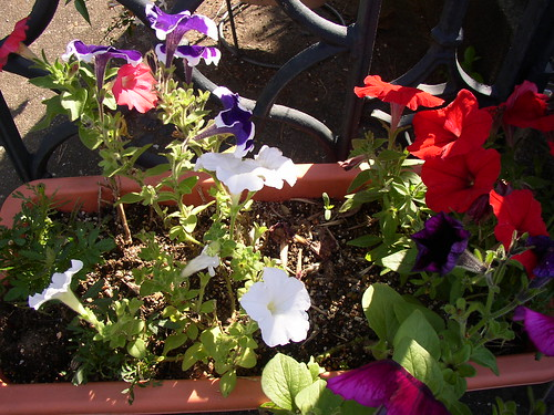 petunias doing well